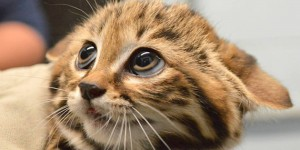 o-BLACK-FOOTED-CAT-KITTENS-facebook
