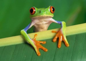 female-red-eyed-tree-frog-tree-frogs-11755689-600-426