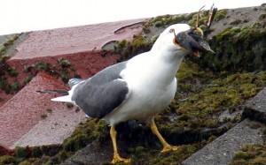 seagull-bird_3384712b
